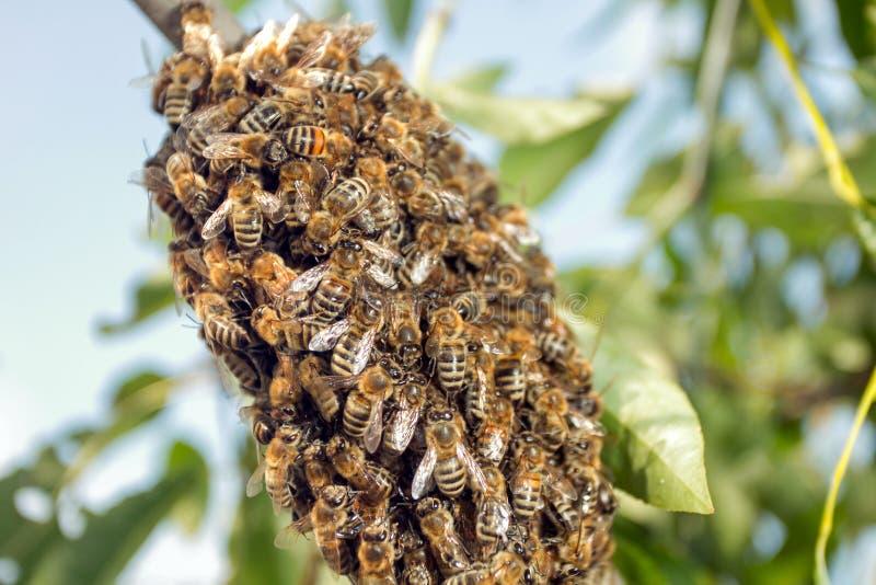 Abeilles faisant la ruche provisoire photographie stock libre de droits
