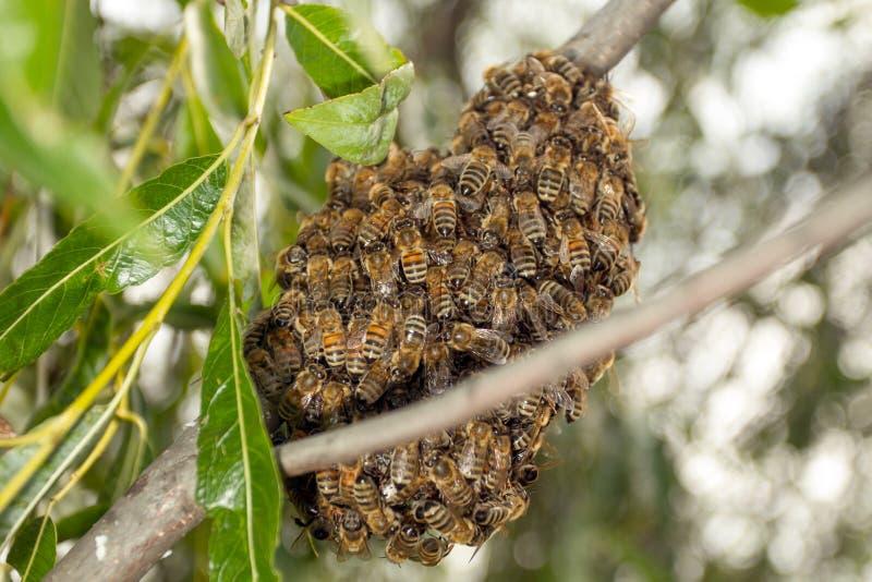Abeilles faisant la ruche provisoire image stock