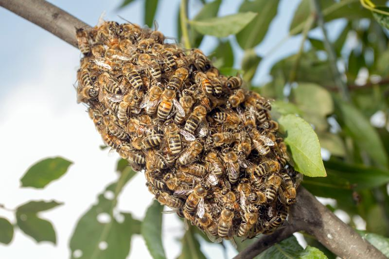 Abeilles faisant la ruche provisoire photographie stock