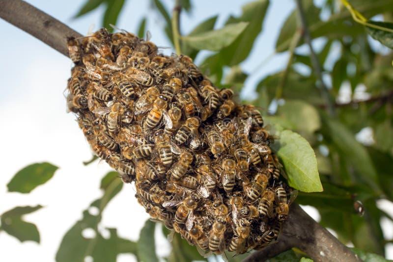 Abeilles faisant la ruche provisoire photo stock