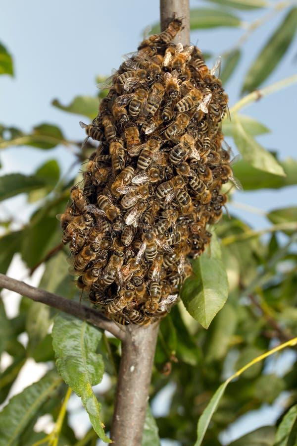 Abeilles faisant la ruche provisoire image libre de droits