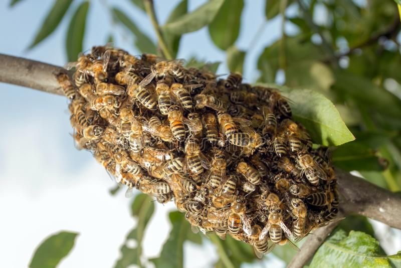 Abeilles faisant la ruche provisoire images stock
