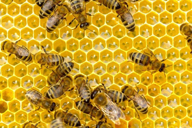 Abeilles ? l'int?rieur de la ruche photo libre de droits