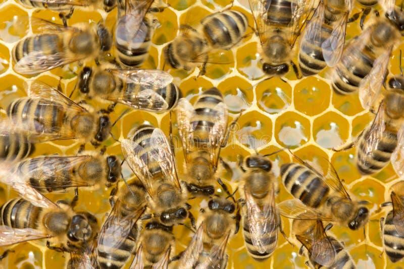 Abeilles ? l'int?rieur de la ruche photographie stock libre de droits