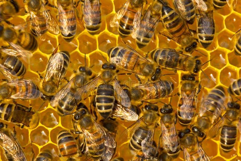 Abeilles ? l'int?rieur de la ruche Travail de jeunes abeilles à l'intérieur de la ruche photo libre de droits