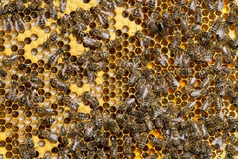 Abeilles se reposant sur des sites avec les larves et le miel qu'ils ont préparé photos stock