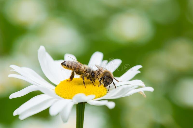 Abeilles suçant le nectar d'une fleur de marguerite image libre de droits