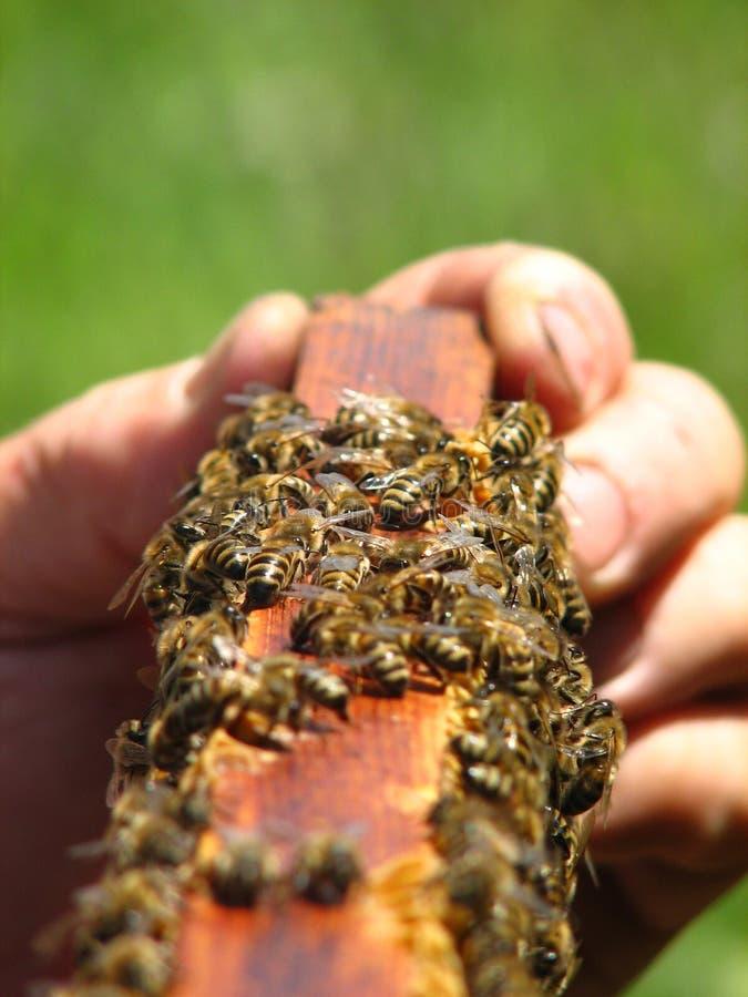 Abeilles sur le cadre de la ruche images libres de droits