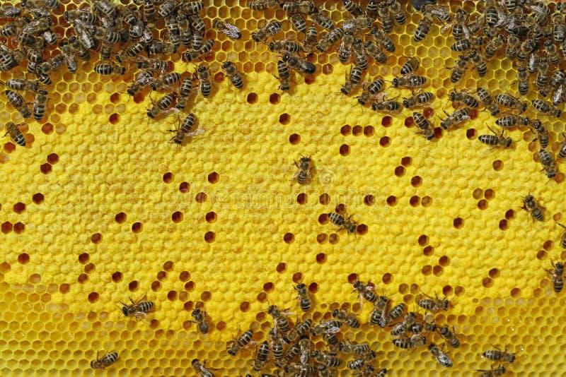 Abeilles sur le nid d'abeilles avec le fond de cellules de couvée photographie stock libre de droits