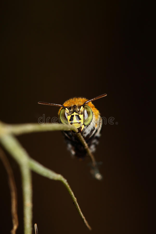 Abeilles sur un branchement. photo stock