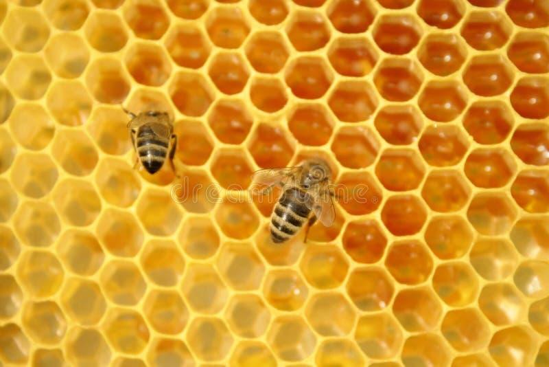 Abeilles sur un nid d'abeilles, à l'intérieur de la ruche photographie stock libre de droits