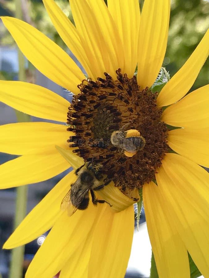 Abeilles sur une fleur jaune photo libre de droits