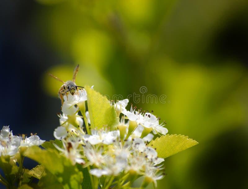 Abeilles volant autour des fleurs images libres de droits