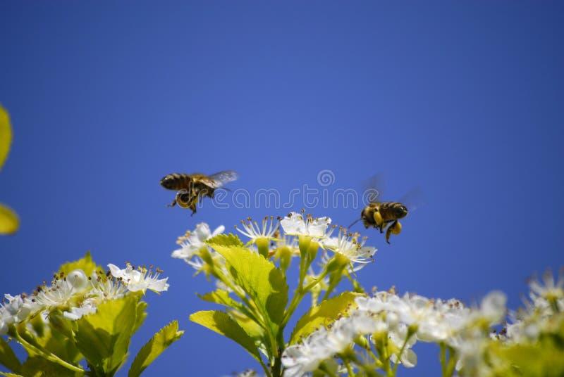 Abeilles volant autour des fleurs photographie stock