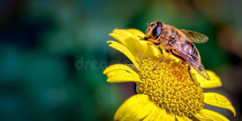 Abejón-mosca, Eristalis tenax un imitador de la abeja en Daisy Like Flower Cleaning su Front Legs foto de archivo