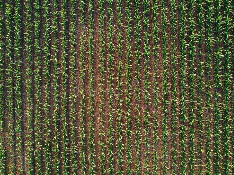 Abejón pov del campo del maíz del maíz foto de archivo