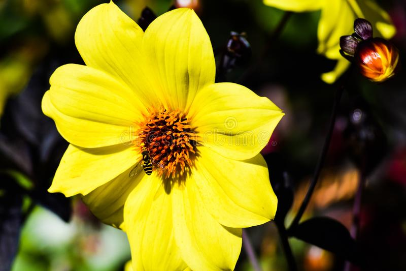 Abeja/abejorro que alimenta en el polen del girasol amarillo brillante de la margarita fotos de archivo