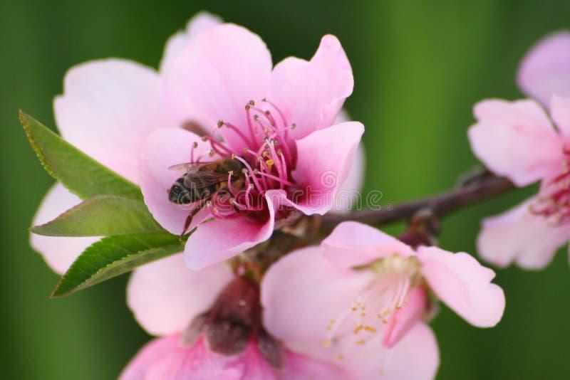 Abeja africana de la miel en el flor foto de archivo