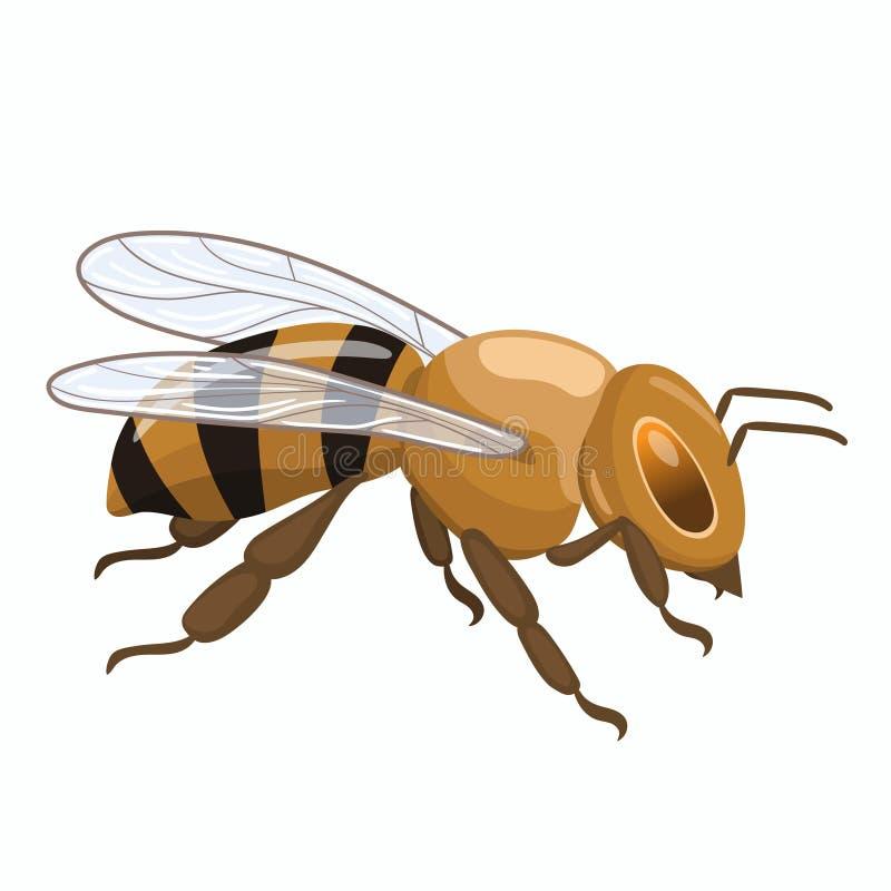 Abeja asentada de la miel Gráficos de vector aislados en el fondo blanco libre illustration