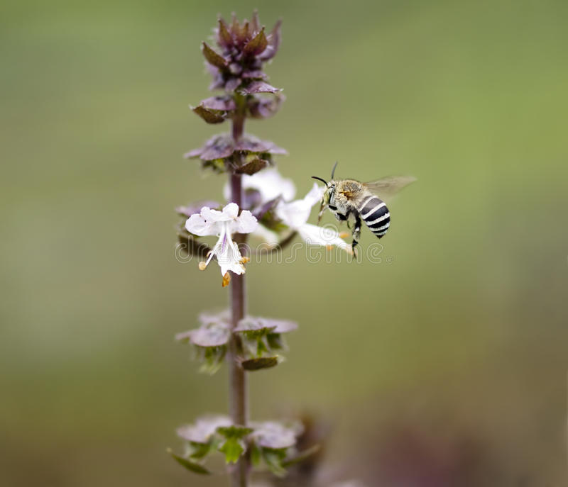 Abeja australiana en una flor de la albahaca del canela foto de archivo