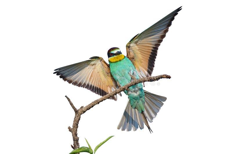 Abeja-comedor europeo con las alas extendidas en un fondo blanco imagen de archivo