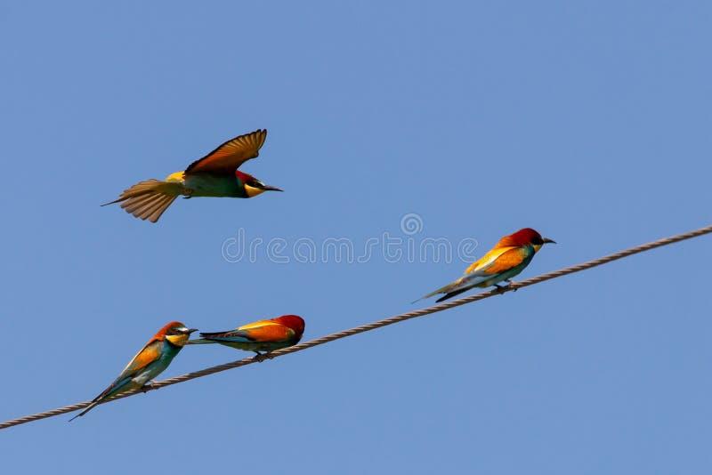 Abeja-comedor, pájaros europeos del abeja-comedor en el alambre imagen de archivo libre de regalías
