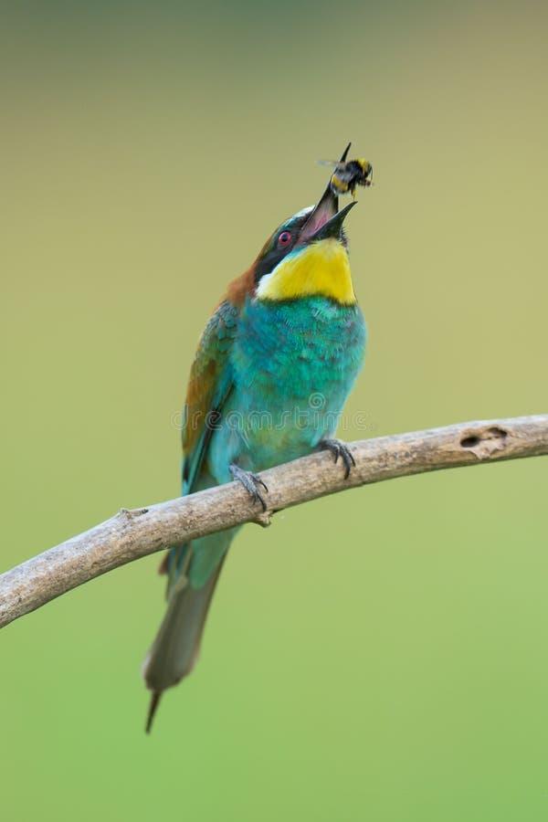 Abeja-comedor que come un insecto fotografía de archivo
