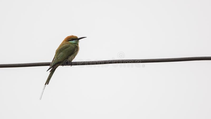 Abeja-comedor verde en el alambre imagen de archivo