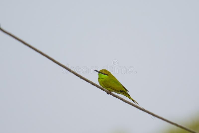 Abeja-comedor verde en un alambre imagen de archivo libre de regalías