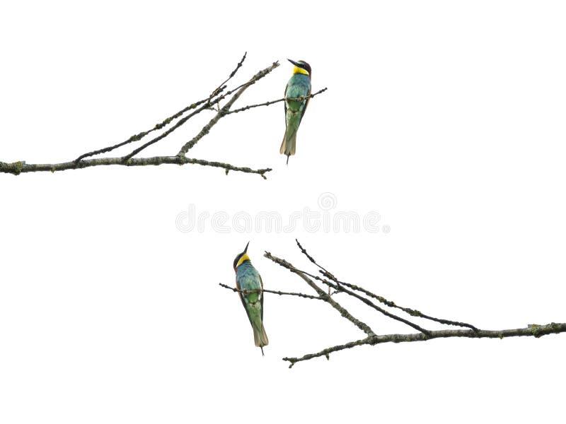 Abeja-comedores que se sientan en una rama, isoalated en el fondo blanco imagen de archivo