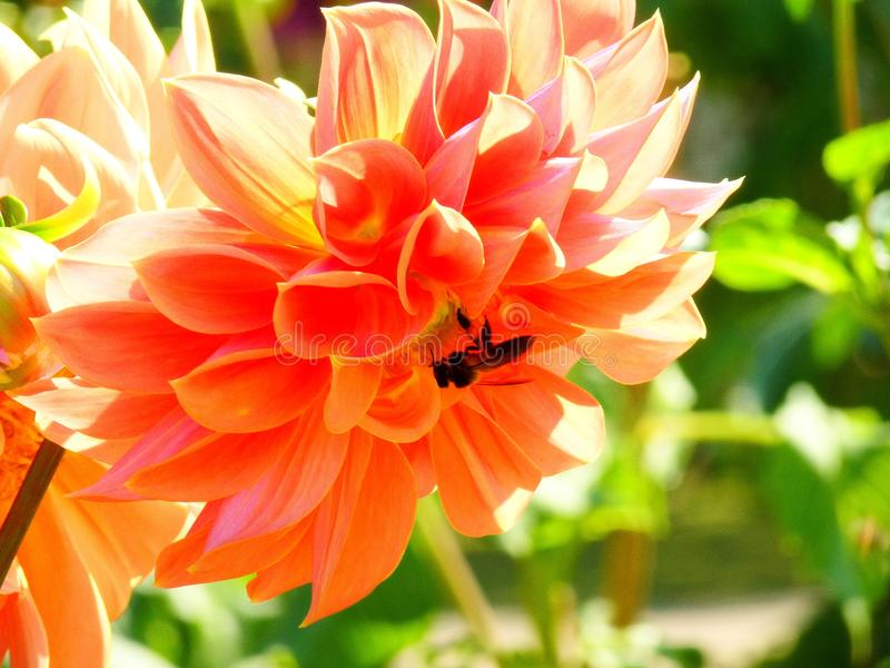 Abeja con la flor imagenes de archivo