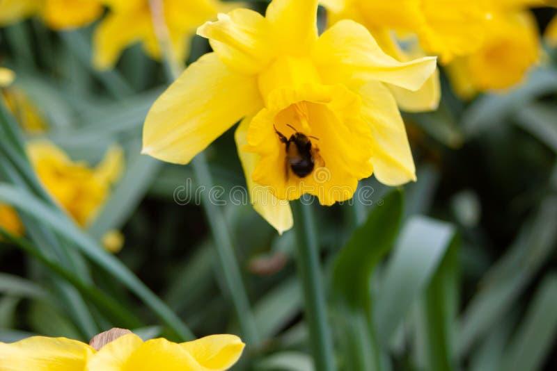 Abeja con la flor del narciso imagen de archivo libre de regalías