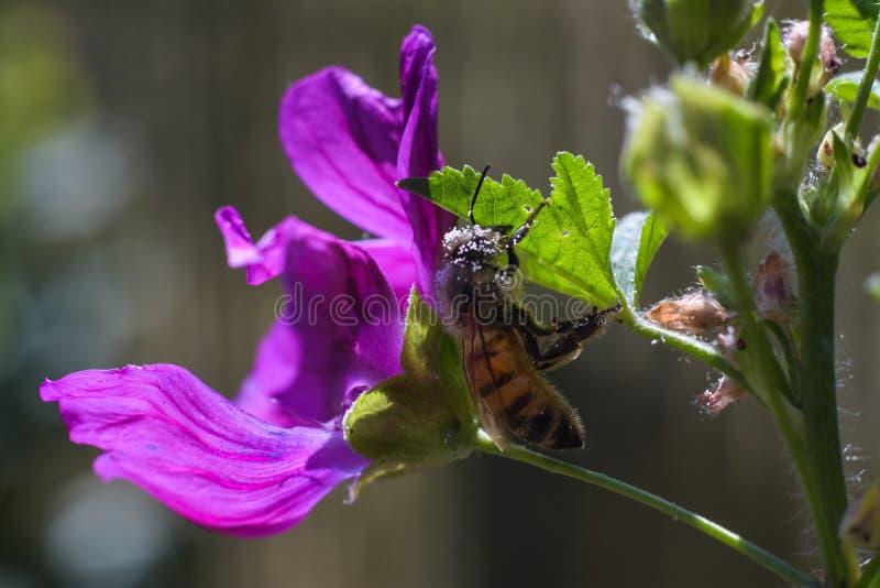 Abeja con polen blanco grande en la piel que sube en la hoja verde foto de archivo libre de regalías