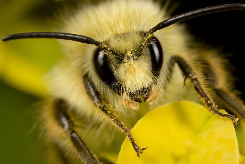 Abeja con polen en la pista fotos de archivo