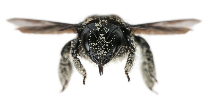 Abeja de carpintero femenina cubierta con los granos del polen fotografía de archivo