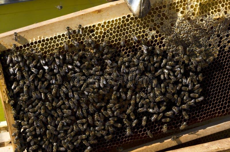 Abeja de la miel en el panal fotos de archivo libres de regalías