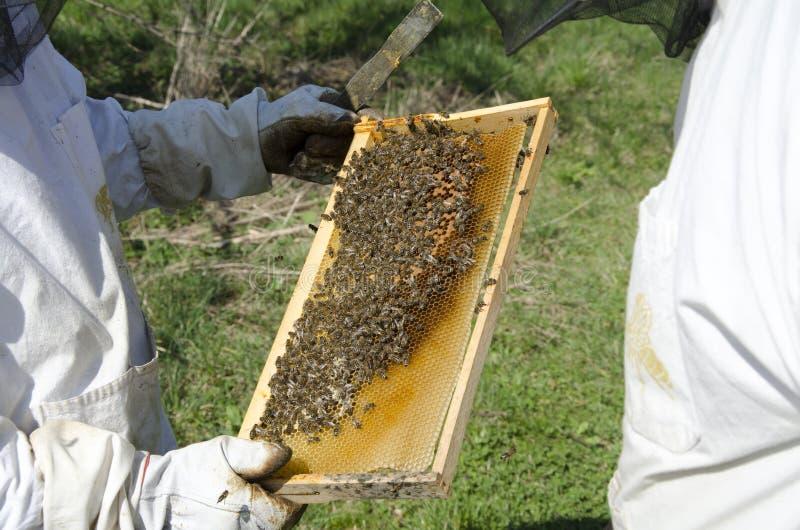 Abeja de la miel en el panal foto de archivo libre de regalías