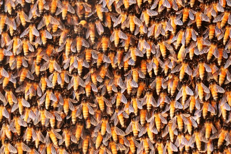 Abeja de la miel en el panal imagen de archivo