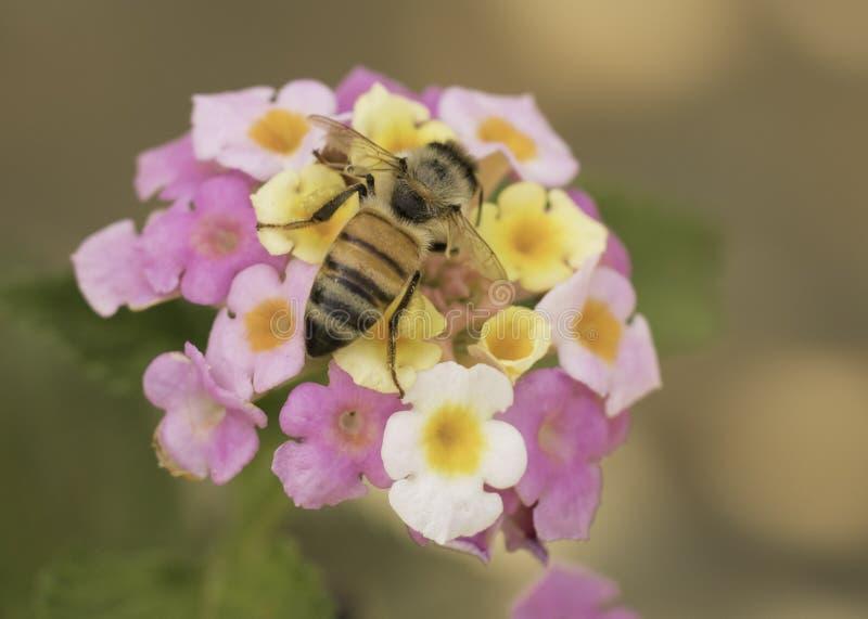 Abeja de la miel en la acción imagen de archivo libre de regalías