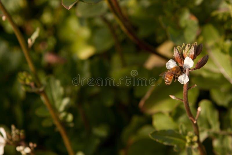 Abeja de la miel en la flor blanca imagen de archivo