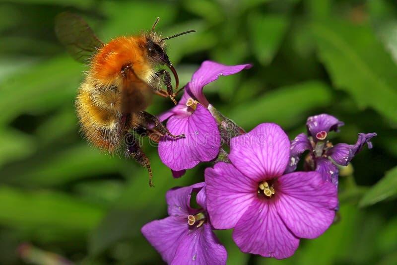 Abeja de la miel en la flor púrpura imagen de archivo libre de regalías