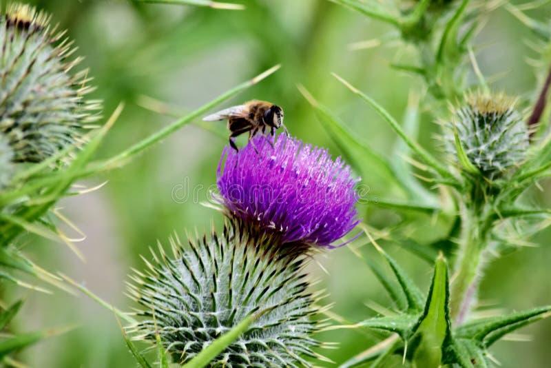 Abeja de la miel en la flor púrpura imagen de archivo