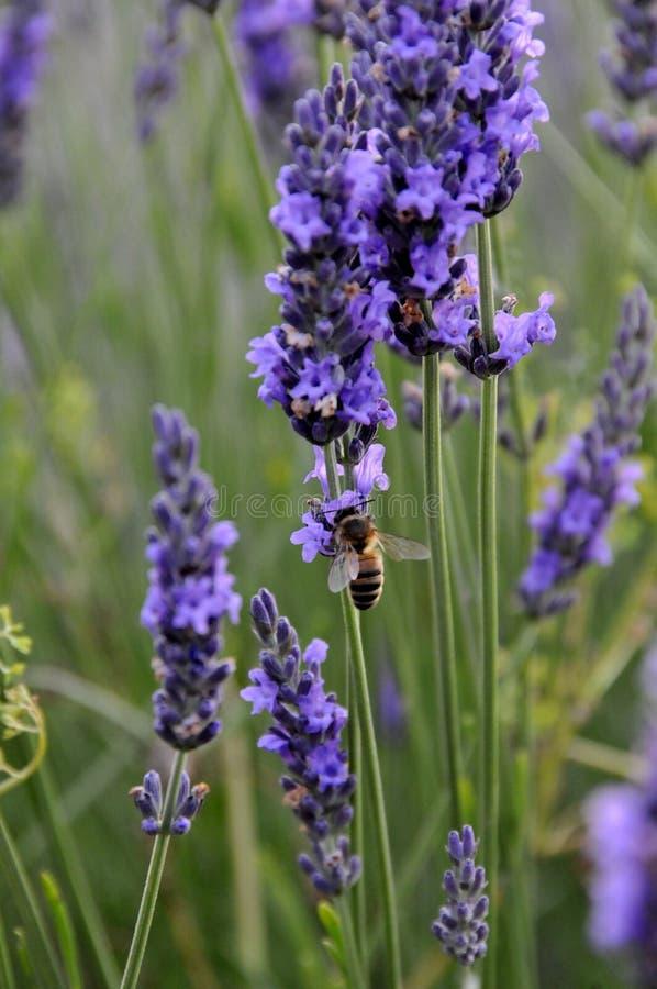 Abeja de la miel en la lavanda, Provence, Francia fotografía de archivo libre de regalías