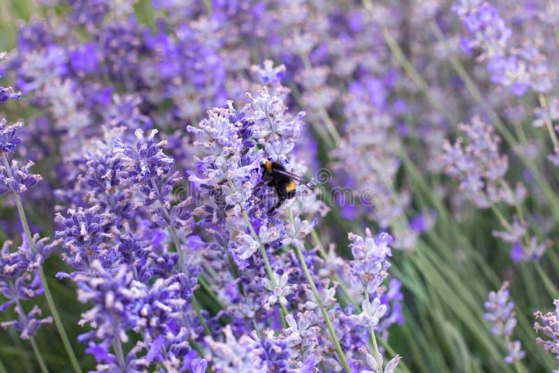 Abeja de la miel en una flor púrpura de la lavanda imagen de archivo