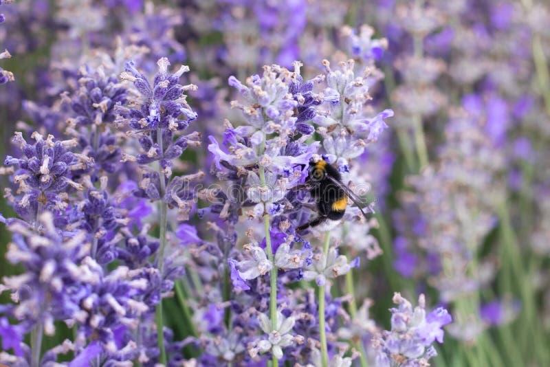 Abeja de la miel en una flor púrpura de la lavanda fotos de archivo libres de regalías