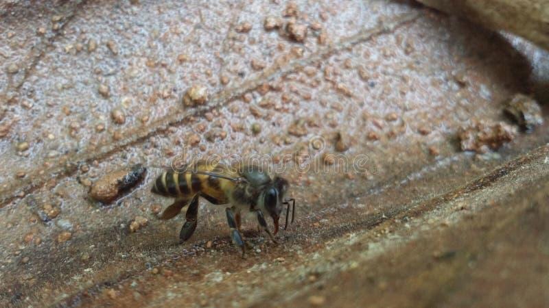 Abeja de la miel Naturaleza amante fotógrafos como fotos de archivo libres de regalías