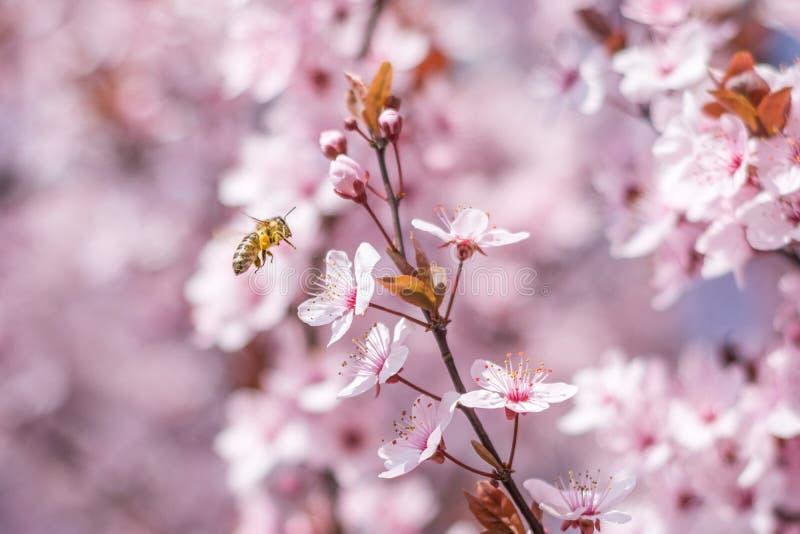 Abeja de la miel que poliniza suavemente la flor rosada de la cereza imagen de archivo