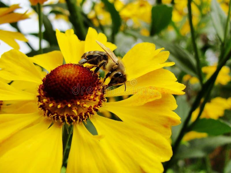 Abeja de la miel que recoge el polen en la flor roja de la for Ahuyentar abejas jardin