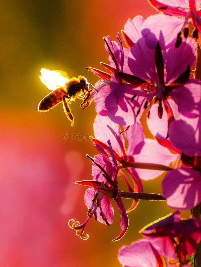 Abeja de la miel que recoge el polen de las flores florecientes foto de archivo libre de regalías
