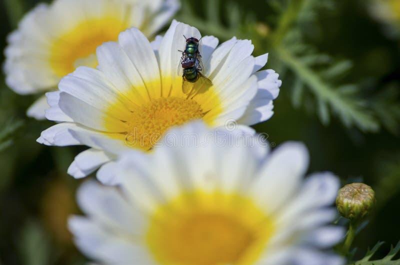 Abeja de la miel que se acopla en una flor amarilla blanca aislada en un jardín con hermosa vista y la profundidad del campo imágenes de archivo libres de regalías